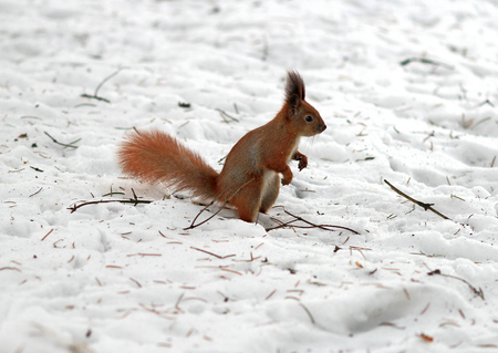 squirrel at snowy landscape. Stock Photo