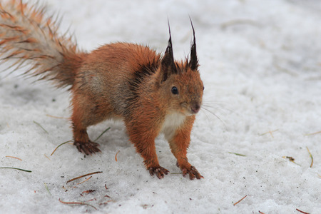 squirrel after winter rain Stock Photo