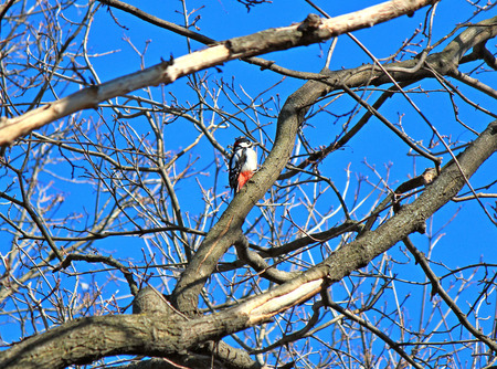 hungry woodpecker is looking for food