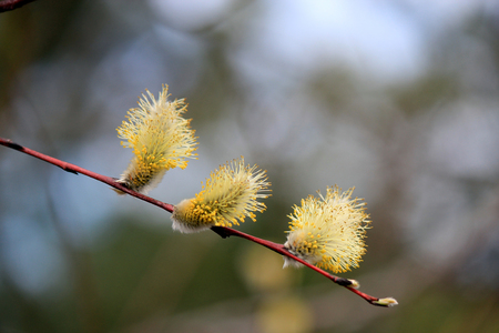 first spring buds
