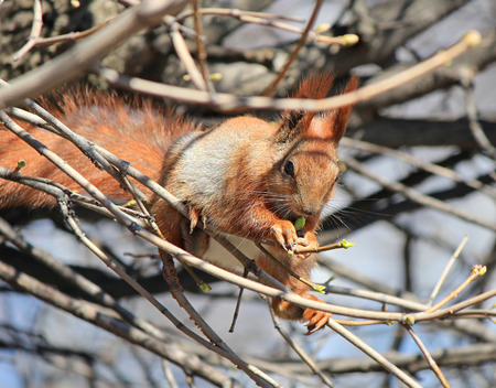 squirrel eating fresh spring buds 免版税图像