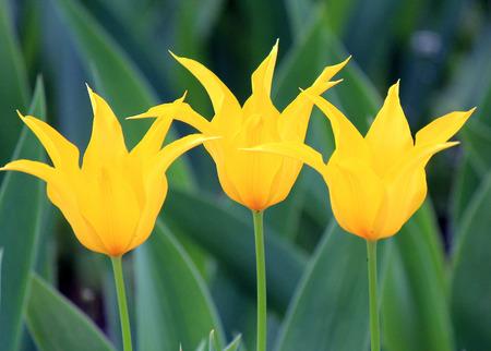 flower of  yellow tulip in  early spring 版權商用圖片