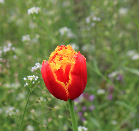 flower of a motley tulip in  early spring