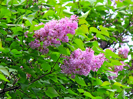 spring bloom of lilac in the Kiev Botanical Garden