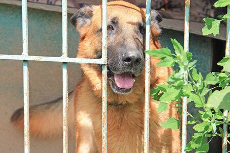 large shepherd dog is sad in a closed aviary