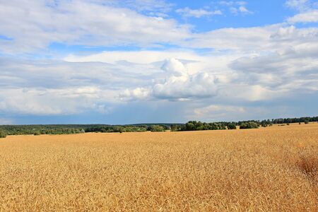 view of a wheat field under a cloudy sky