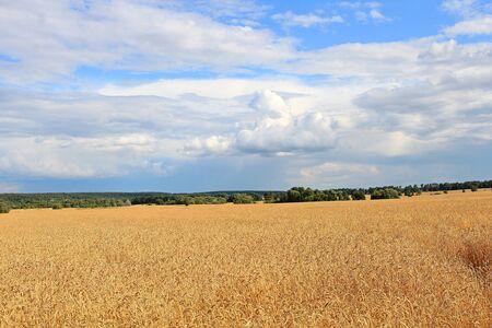 view of a wheat field under a cloudy sky Фото со стока - 133191362