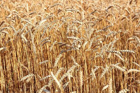 view of a wheat field under a cloudy sky Фото со стока - 133191360