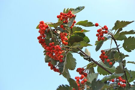 cluster of the ripened mountain ash