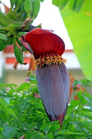 flower and fruit of banana tree