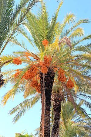 exotic fruit palm tree in Turkey