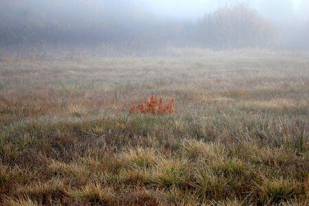 lonely bush in a foggy autumn meadow Фото со стока