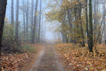 forest road in autumn foggy morning