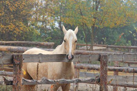 beautiful blonde horse at morning workout Фото со стока - 133344068