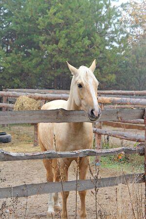 beautiful blonde horse at morning workout Фото со стока - 133344074