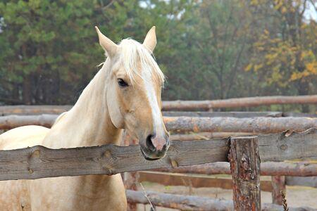 beautiful blonde horse at morning workout Фото со стока - 133344075
