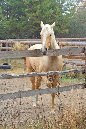 beautiful blonde horse at morning workout