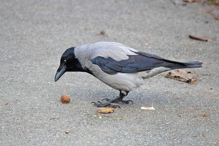 Crow tries to break nut about hard asphalt