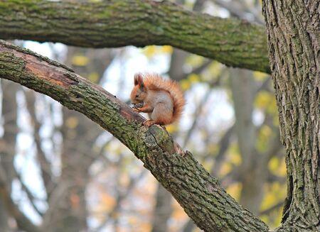 squirrel gnawing on a tasty nut Фото со стока