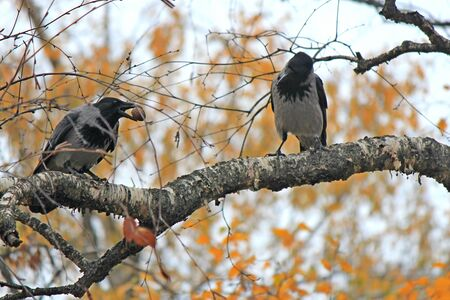 crows compete for possession of a nut