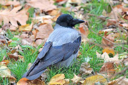 beautiful crow among fallen autumn leaves