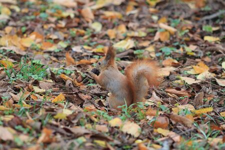 squirrel among autumn foliage nibbles a delicious nut Фото со стока