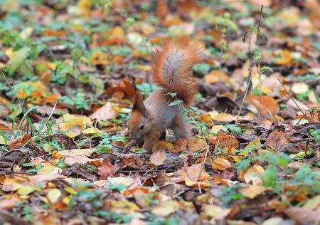 squirrel hides a delicious nut in the grass Banco de Imagens