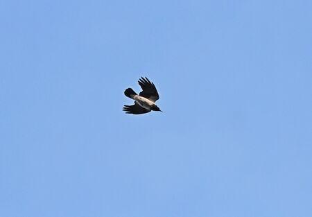 crow flies in a swift nosedive Фото со стока