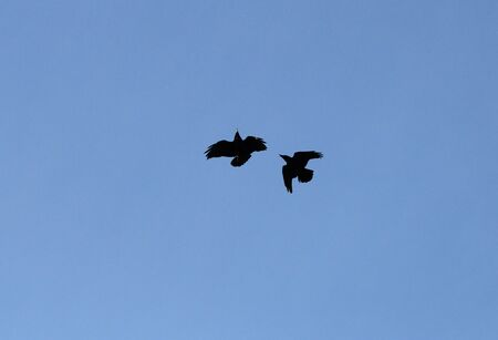 Air battle between two crows