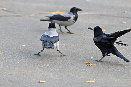 Black and grey crows find out relationship