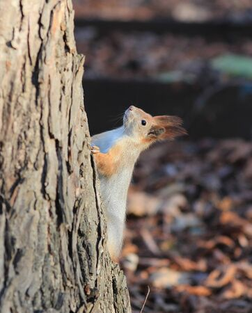 squirrel climbs the highest tree