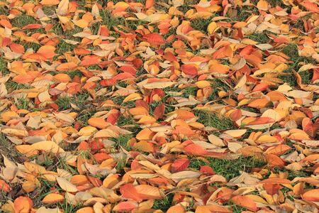 bright autumn fallen leaves on green grass