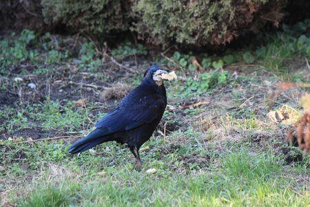 beauty crow found a tasty bun in the grass Фото со стока