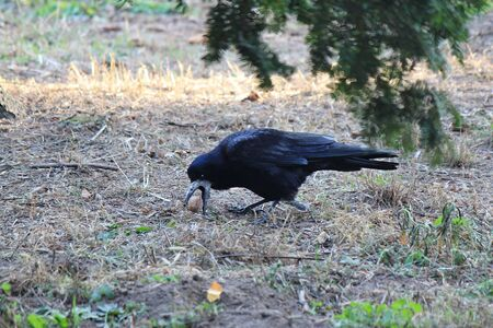 beauty crow found a tasty nut in the grass