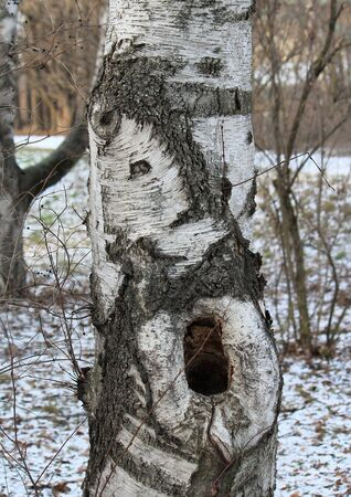 funny screaming face on a birch