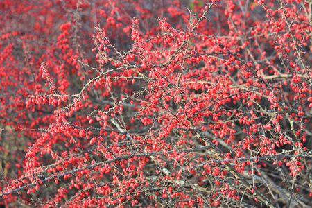 bright bush of barberry in the autumn garden