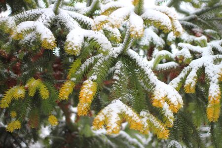 first snow on a colorful fir in the park Фото со стока