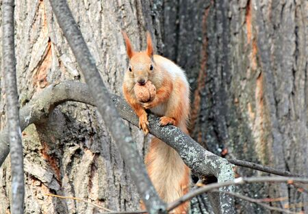 squirrel on a tree branch gnaws a delicious nut