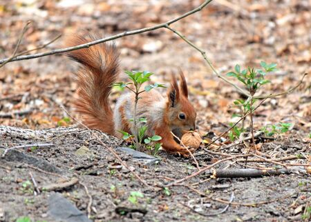 squirrel with an appetite gnaws a delicious nut