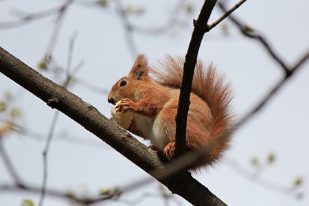 squirrel with an appetite gnaws a delicious cracker