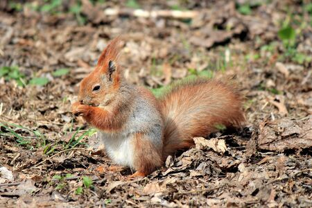 squirrel with a magnificent tail with an appetite gnaws a delicious nut