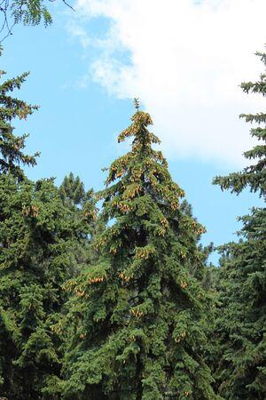 spruce tree with many cones on top 版權商用圖片