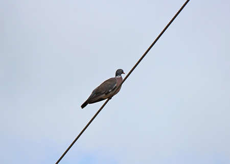 wild pigeon sat down to rest on an electric wire