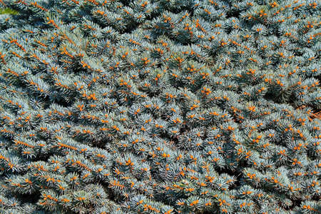 carpet mosaic of blue fir needles Фото со стока