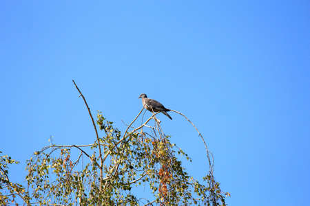 wild pigeon on the top of a birch