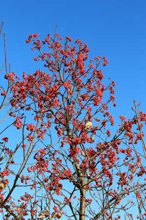 bright red bunches of rowan in autumn