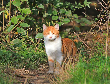 hunting yellow-eyed cat emerges from bushes thickets