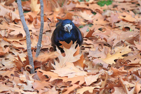 crow looking for food in fallen autumn leaves