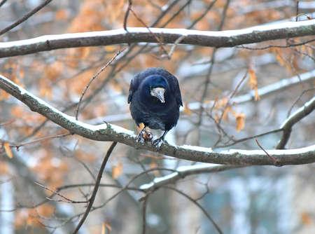 crow found a delicious nut under the snow Фото со стока