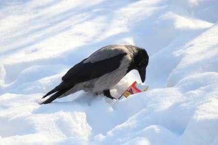 crow retrieves a cigarette from a discarded pack Reklamní fotografie